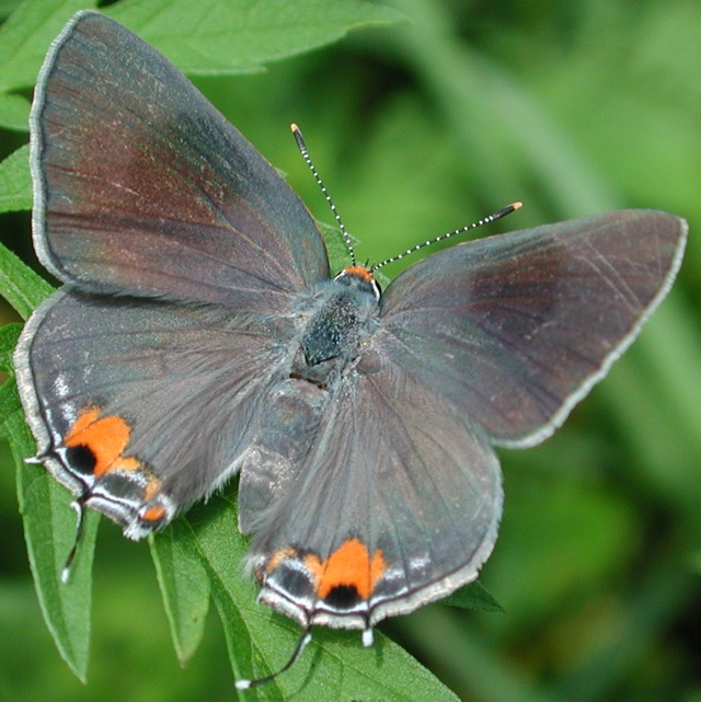 Gray Caterpillars That Are Big: Butterflies Of North Carolina