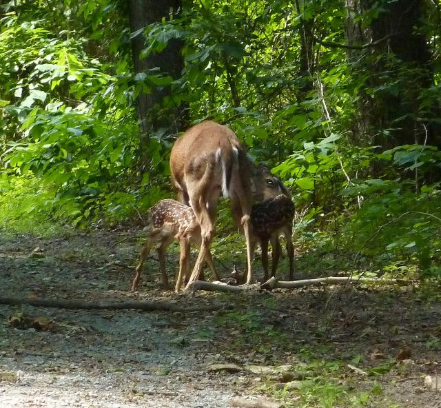 White-tailed+Deer (<I>Odocoileus virginianus</I>), Dismal Swamp State Park, North Carolina, United States