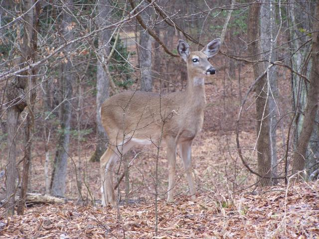 White-tailed+Deer (<I>Odocoileus virginianus</I>), Falls Lake State Recreation Area, North Carolina, United States