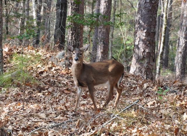 White-tailed+Deer (<I>Odocoileus virginianus</I>), Goose Creek State Park, North Carolina, United States