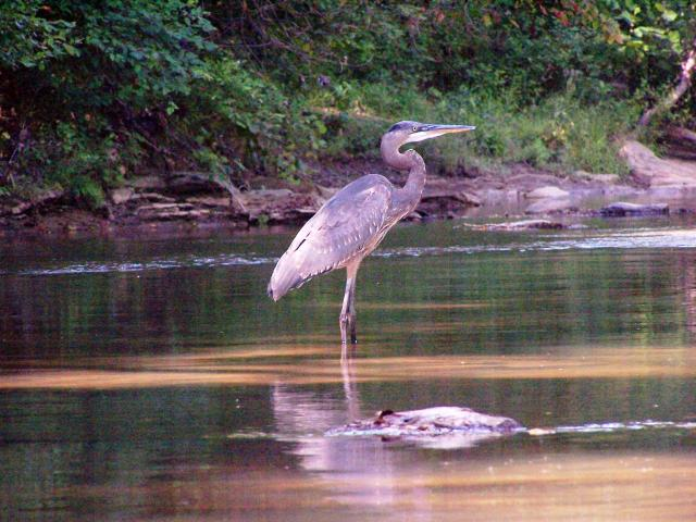 Great+Blue+Heron (<I>Ardea herodias</I>), Hanging Rock State Park, North Carolina, United States