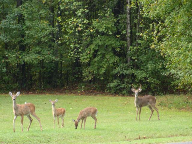 White-tailed+Deer (<I>Odocoileus virginianus</I>), Kerr Lake State Recreation Area, North Carolina, United States