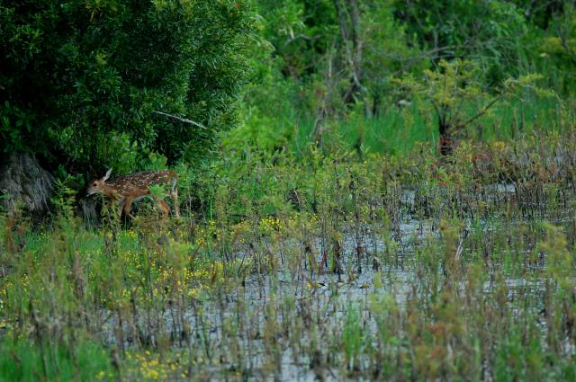 White-tailed+Deer (<I>Odocoileus virginianus</I>), Lake Waccamaw State Park, North Carolina, United States