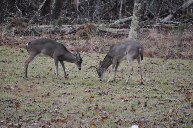 White-tailed+Deer (<I>Odocoileus virginianus</I>), Morrow Mountain State Park, North Carolina, United States
