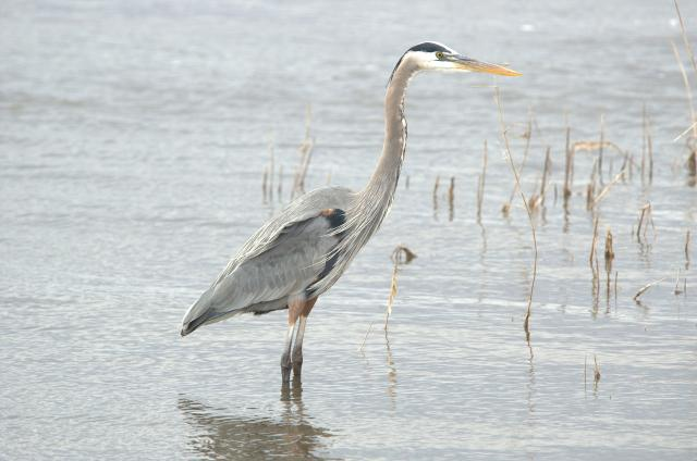Great+Blue+Heron (<I>Ardea herodias</I>), NONDPR, North Carolina, United States