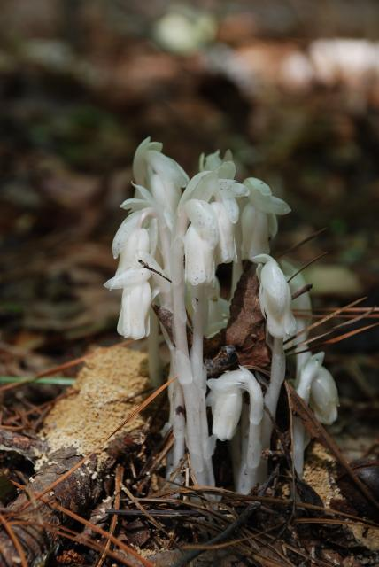 Indian-pipe (<I>Monotropa uniflora</I>), Raven Rock State Park, North Carolina, United States