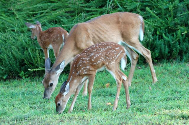 White-tailed+Deer (<I>Odocoileus virginianus</I>), Stone Mountain State Park, North Carolina, United States
