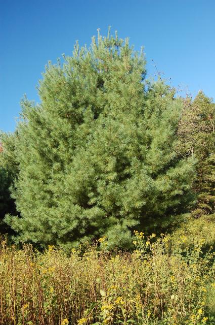 Eastern+White+Pine (<I>Pinus strobus</I>), Stone Mountain State Park, North Carolina, United States