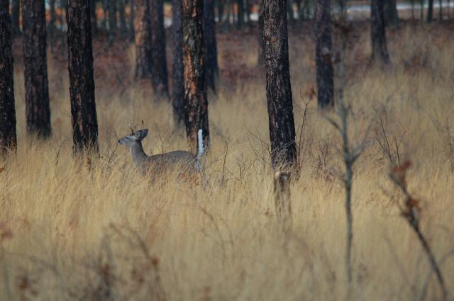 White-tailed+Deer (<I>Odocoileus virginianus</I>), Weymouth Woods-Sandhills Nature Preserve, North Carolina, United States